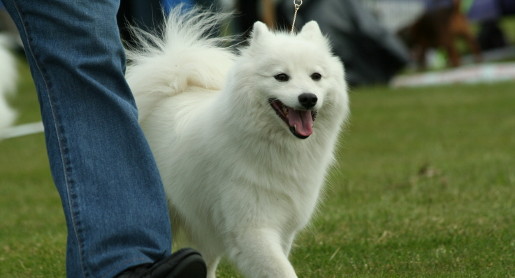 Japansk spets på hundutställning.
