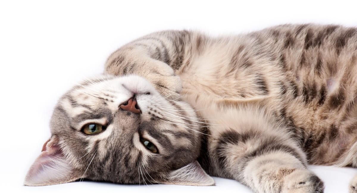 dräktighet katt dag för dag